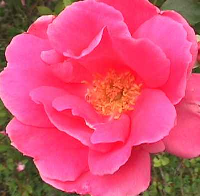 Katy Road Pink Found Shrub Introduction Date Unknown This Rose Was On In Houston Texas It Bears Hot Semi Double Flowers All