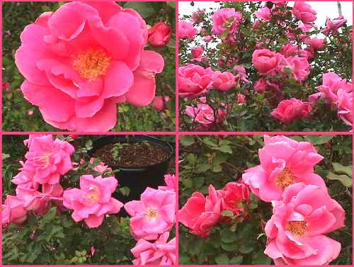 Rose of driftwood katy road pink found shrub introduction date unknown this rose was found on katy road in houston texas it bears hot pink semi double flowers all mightylinksfo