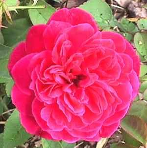 Rose Of Driftwood